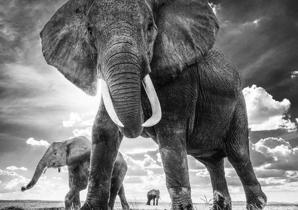 66733-Elephant_THE_UNTOUCHABLES_Amboseli_2017